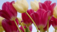 white-and-pink-tulips