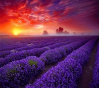 Amazing Lavender fields