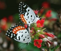 Black orange   white butterfly