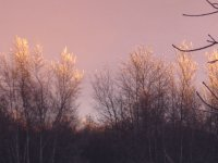 Frosty treetops at sunset