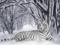 white tiger in winter time