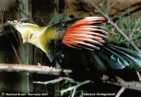 TURACO LIVINGSTON