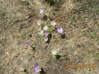 Alpin flowers (crocus) Fr