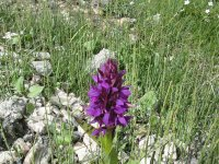 Orchis (Alpes-France)