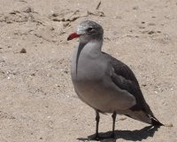 Heerman 's Gull