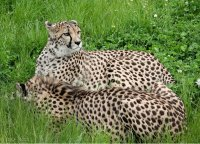 Cheetah at Kristiansand Zoo, by Inga Photography