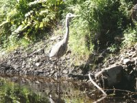 Heron in the river - don 't take my fish!