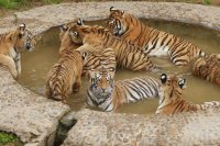 tigers in pond