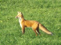 Red fox dropped by to say hi ...