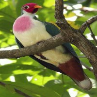 Bleeding heart dove36