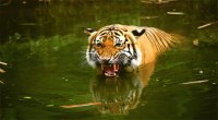Swimmiing Tiger