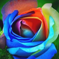 Its a Rainbow Rose