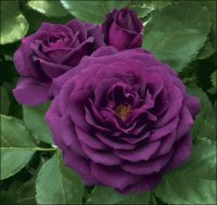 Ebb Tide Purple Roses