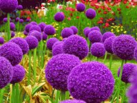 Puffy Purple Alliums