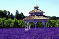 Gazebo in Vibrant Purple Field