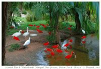 Scarlet Ibis and Waterbirds-Brazil