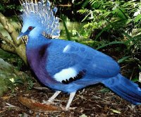 Blue Crown Feathered Bird-Amazon Rain Forest