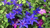 Beautiful Purple Clematis Garden