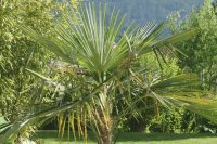Palmtree in the garden