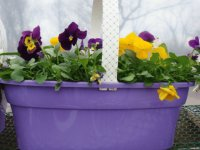 Pretty Purple Pansy Basket