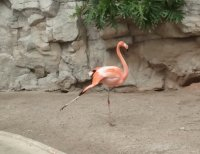 Flamingo en el Zoo de San Antonio