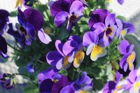 Purple and Yellow Dancing Pansies