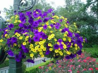 Huge Hanging Basket of Petunias