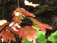 Maple trees changing to red