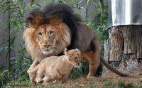 אריות ולביאות !