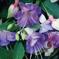 Lovely Purple Fuchsias
