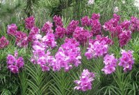 Purple orchid thicket, Singapore