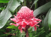 Red torch ginger plant, Singapore