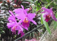 Bright purple orchid, Singapore