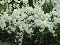 Mass or white orchids, Singapore
