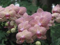 Speckled orchids, Singapore