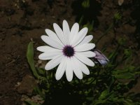White African daisy, India