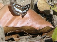 Butterfly on leaf, Kanha, India