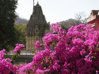 Pink bougainvillea and temple, India