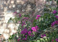 Bougainvillea and sun on wall, India