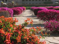 Bougainvilleas at the palace, Jodhpur, India