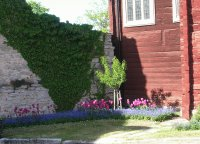 Ivy, pink tulips, blue flowers, red wall, Gotland