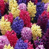 Hyacinth Colors
