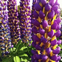 Pretty Purple Lupine Flowers