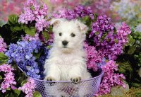 Terrier Puppy and Purple Flowers