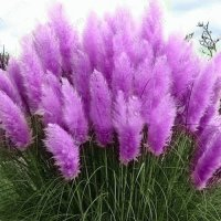 Beautiful Pampas Grass