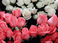 pink and white rosebuds