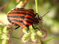 CHINCHE GRAPHOSOMA
