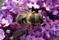 Hoverfly, Cheshire UK