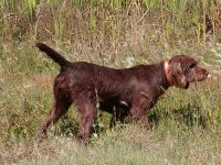 Pudel pointer