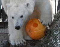 polarbear and pumpkin